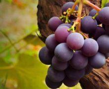 Cargando fruto – Hefzi-ba Palomino